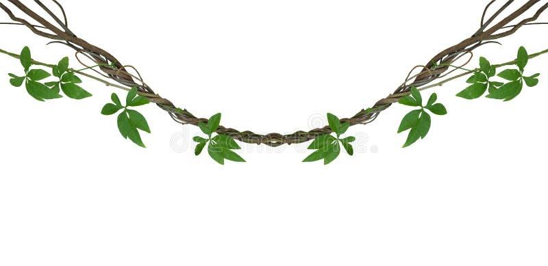 Vridna djungelvinrankor med gröna sidor av den lösa liaen för morgonhärlighet royaltyfri foto