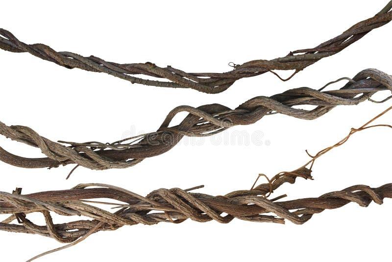 Vridna djungelvinrankor samling, lianväxt som isoleras på vit b arkivbild