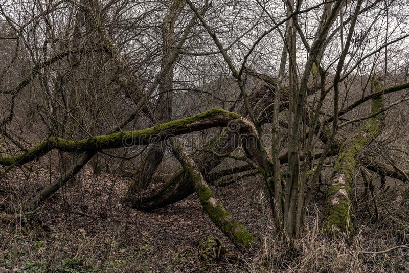 Vridna stammar av gamla träd som trängas igenom i mitt av en skyddad skogreserv arkivbilder