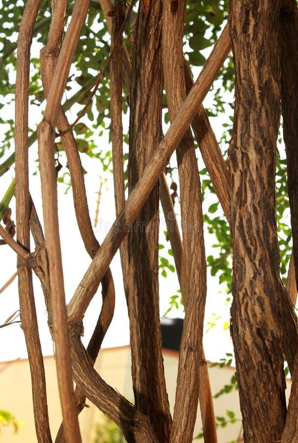 Vridna stora djungelvinrankor med sidor royaltyfri fotografi