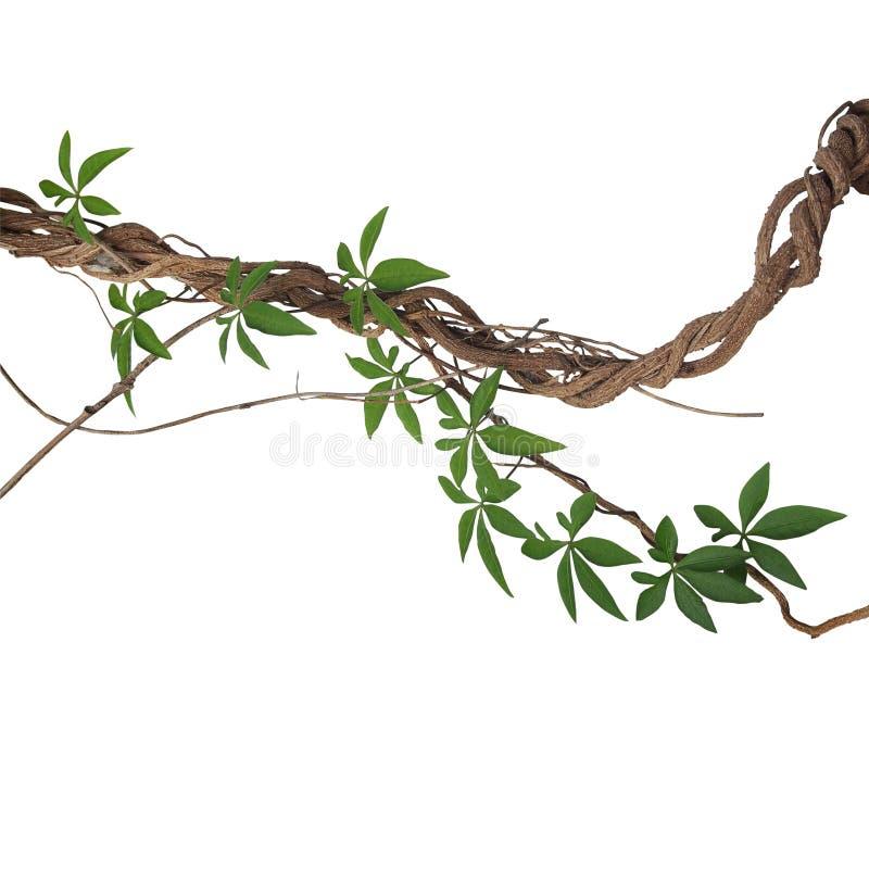 Vridna stora djungelvinrankor med sidor av den lösa lianen för morgonhärlighet arkivbild