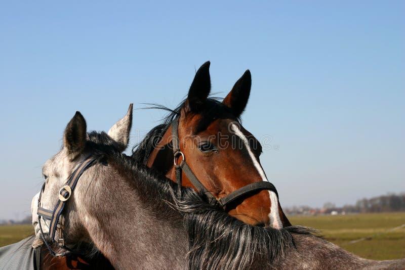 Vrienden - paarden royalty-vrije stock fotografie