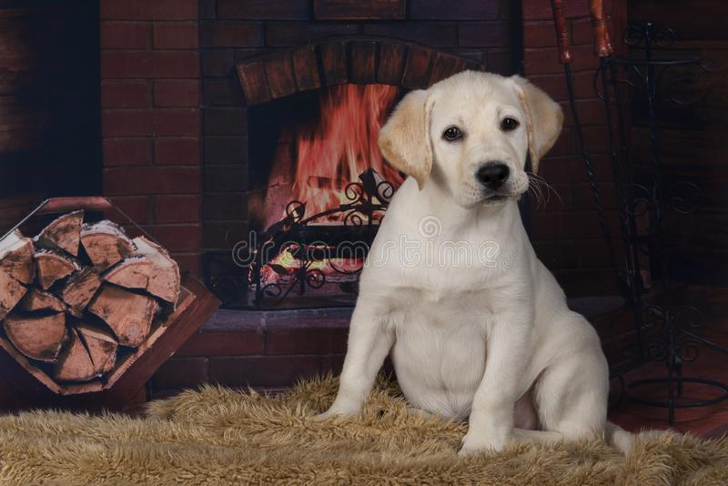 Vriendschappelijk Labrador op de achtergrond van de open haard stock afbeelding