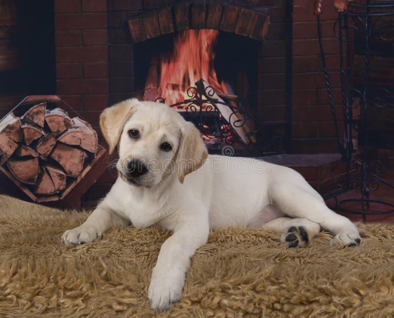 Vriendschappelijk Labrador op de achtergrond van de open haard stock afbeeldingen