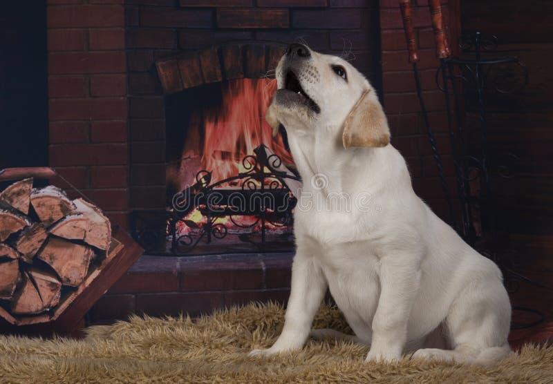 Vriendschappelijk Labrador op de achtergrond van de open haard stock fotografie