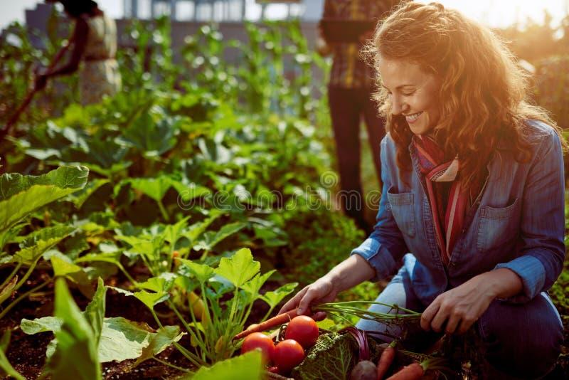 Vriendschappelijk team die verse groenten van de tuin van de dakserre oogsten en oogstseizoen op digitaal plannen stock afbeeldingen
