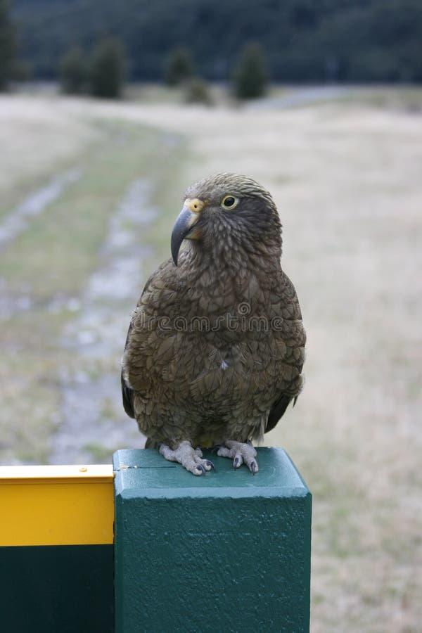 Vriendschappelijke Kea, Nieuw Zeeland stock fotografie