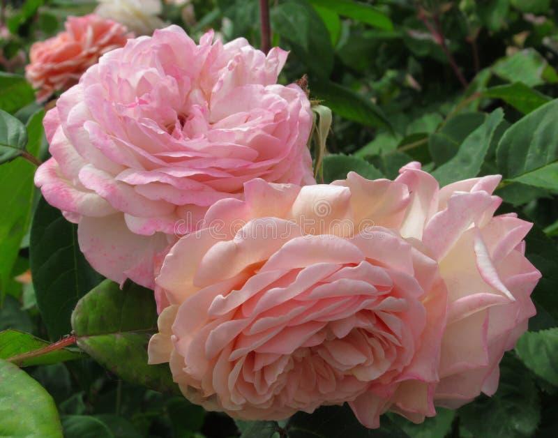 Vrij Aantrekkelijke Lichtrose Rose Flowers Blossom In Park-Tuin Vancouver B C canada stock afbeeldingen