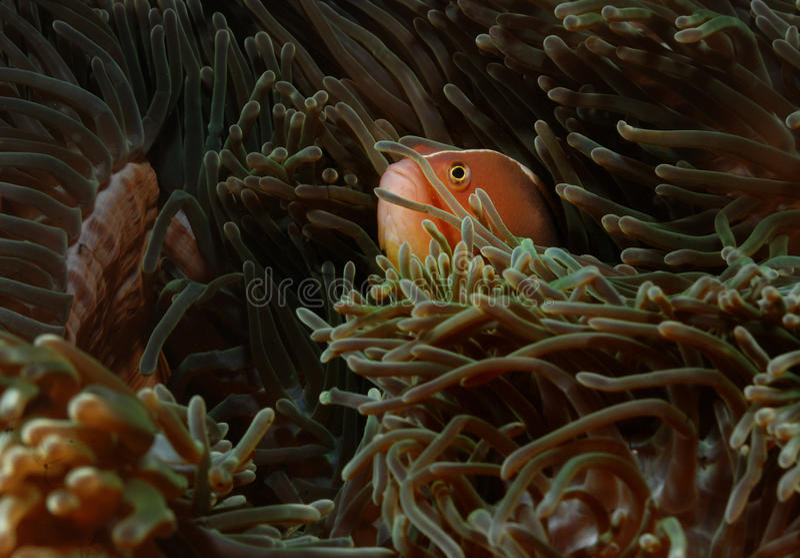 Vrij duiken van Indonesië van de vissen het verbergende anemoon aceh royalty-vrije stock fotografie