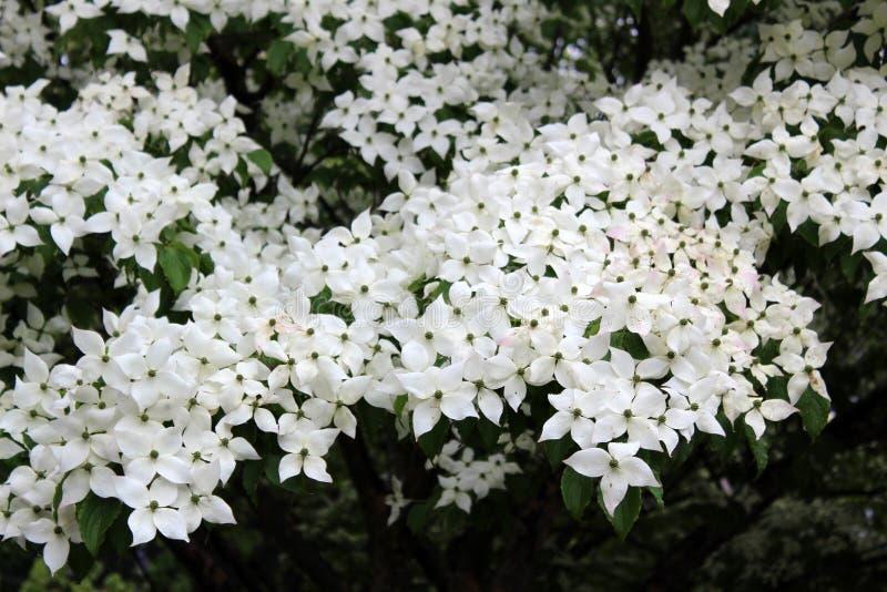 Vrij grote witte bloemen op kornoeljeboom, een symbool van Christendom, met knoppen die onder warmer weer openstellen stock foto's