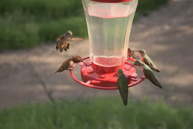 Vrij Kleine Kleurrijke Kolibries die bij Voeder voeden royalty-vrije stock foto's