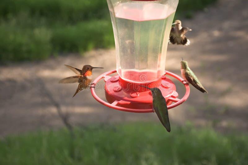 Vrij Kleine Kleurrijke Kolibries die bij Voeder voeden royalty-vrije stock afbeeldingen