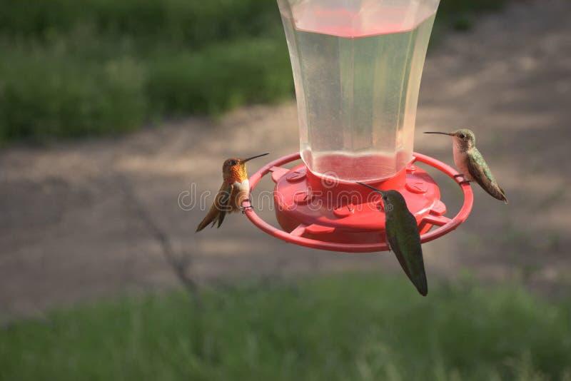Vrij Kleine Kleurrijke Kolibries die bij Voeder voeden stock afbeelding