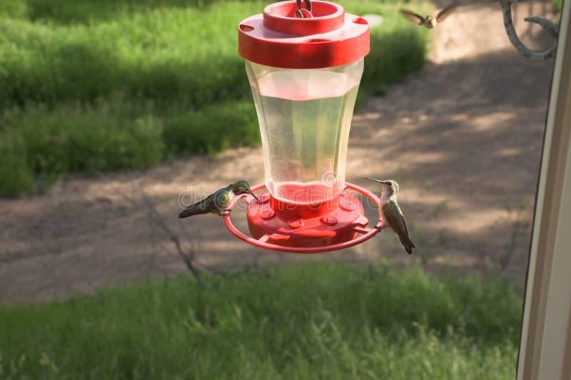 Vrij Kleine Kleurrijke Kolibries die bij Voeder voeden royalty-vrije stock foto