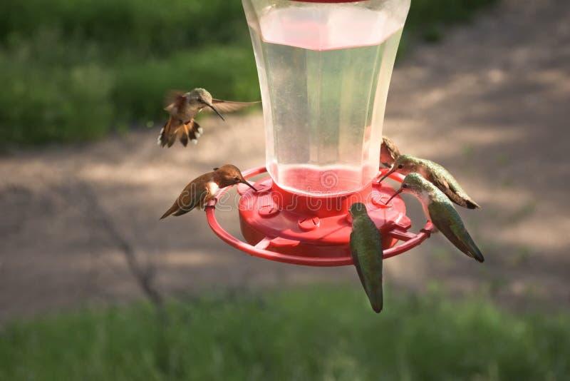 Vrij Kleine Kleurrijke Kolibries die bij Voeder voeden royalty-vrije stock afbeelding