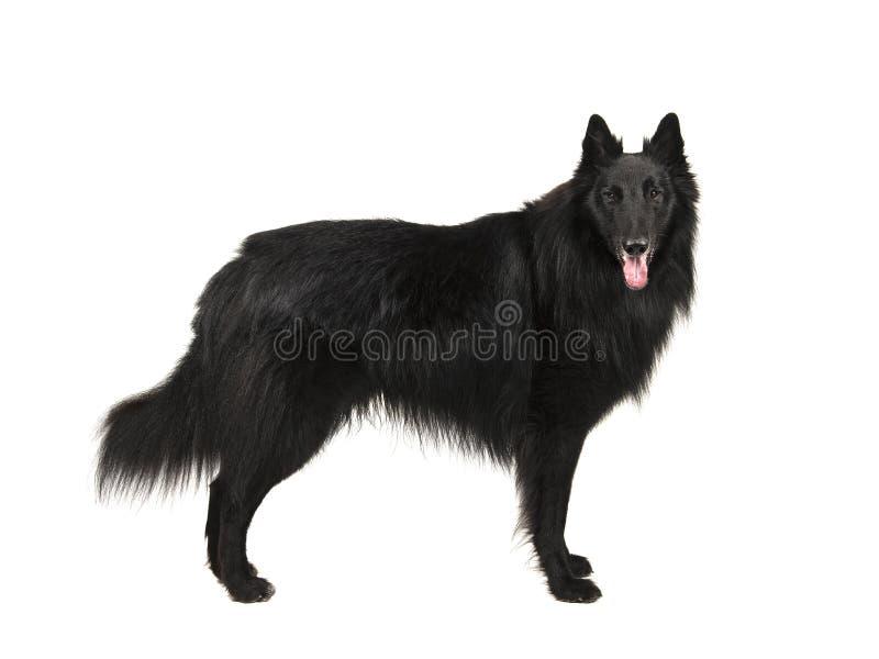 Vrij langharige zwarte Belgische geroepen herdershond groenendael stock afbeelding
