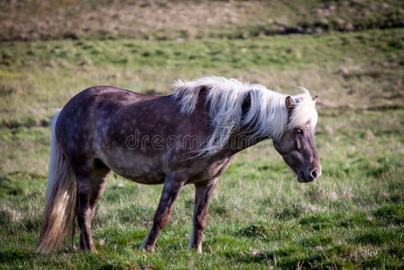 Vrij paard in IJsland dat vrij leeft royalty-vrije stock fotografie