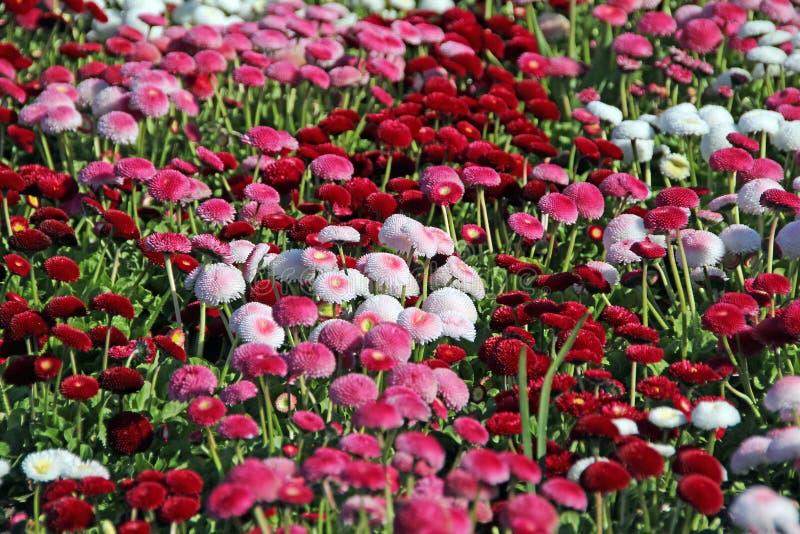 Vrij rode en witte de zomerbloemen stock afbeeldingen