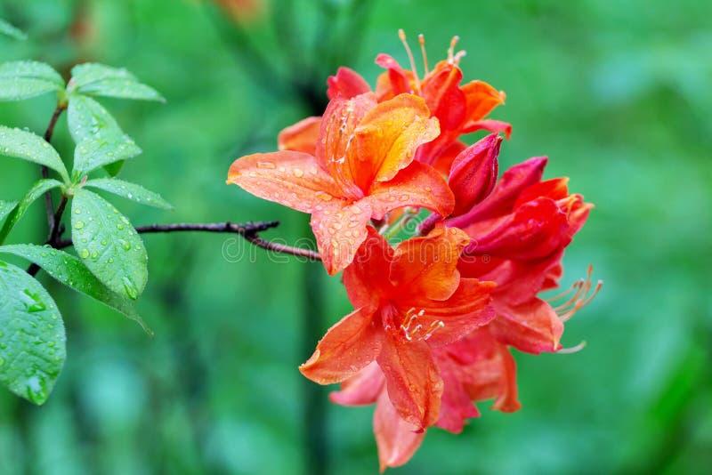 Vrij roze azalea in de tuin royalty-vrije stock foto's