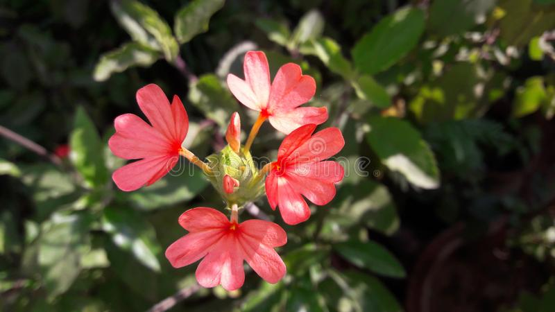 Vrij roze bloem in een tuin royalty-vrije stock foto