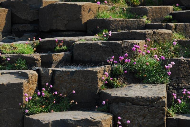 Vrij roze bloemen die op de stenen bij de Reuzeverhoogde weg van ` bloeien s stock foto