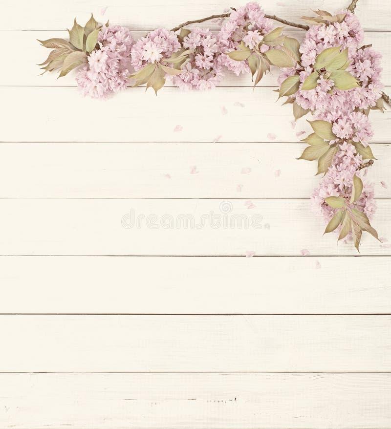 Vrij Roze Cherry Blossom Limbs op Rustieke Witte Raadsachtergrond met ruimte of ruimte voor exemplaar, tekst stock afbeeldingen