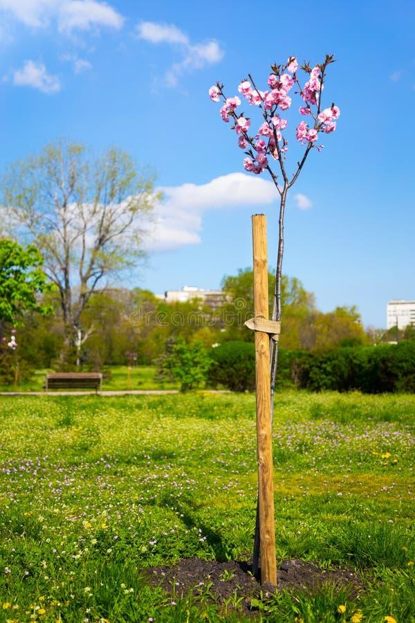 Vrij roze de lentebloesem op een Prunus-serrulata royalty-vrije stock foto