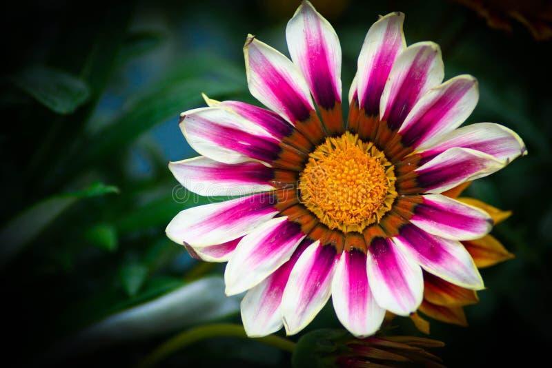 Vrij roze en witte bloem in volledige bloei royalty-vrije stock afbeeldingen