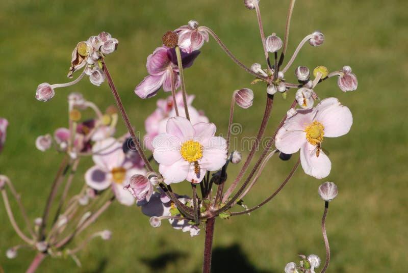 Vrij roze myconii van bloemramonda stock afbeeldingen