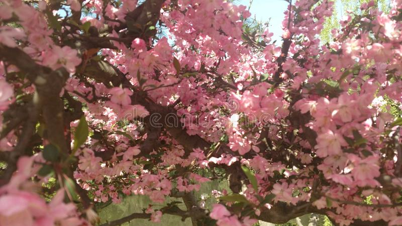 Vrij roze uiterst kleine bloemen in Japan royalty-vrije stock foto's
