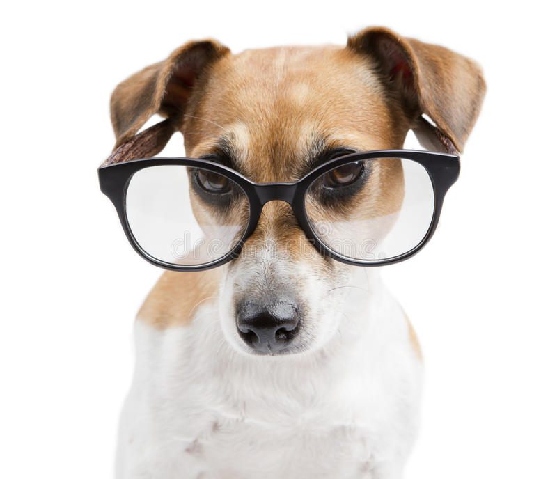 Vrij slimme hond modieuze lezing royalty-vrije stock fotografie