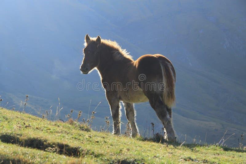 Vrij wild paard in hoge berg stock fotografie