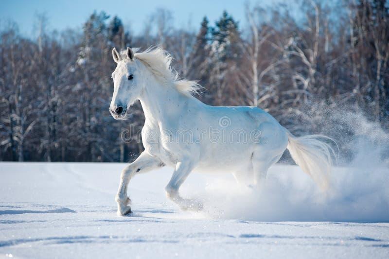 Vrij wit paard op de winterachtergrond royalty-vrije stock foto's
