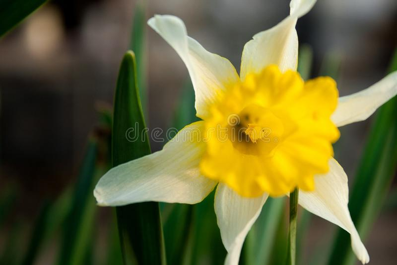Vrij witte en gele bloem met een achtergrond van groene bladeren royalty-vrije stock foto's