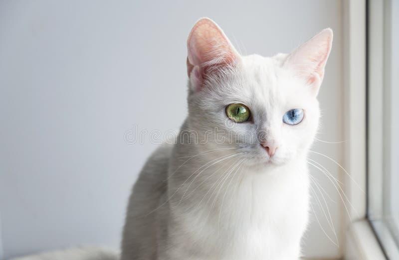 Vrij witte kat met verschillende gekleurde ogen stock fotografie