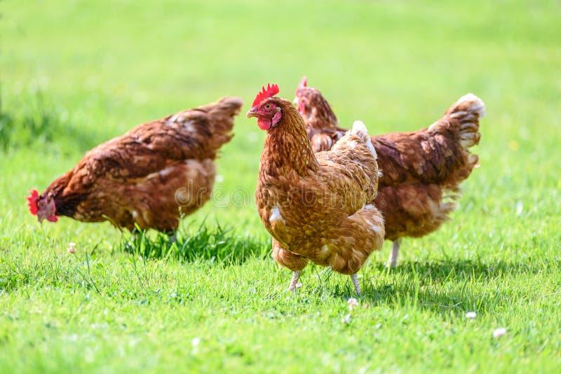 Vrije en gelukkige kippen royalty-vrije stock foto