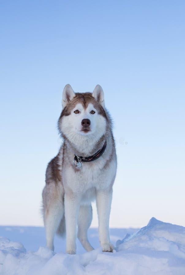 Vrije en prideful Schor topdog neemt het eindeloze bevroren overzees en de sneeuw bij zonsondergang waar stock foto's