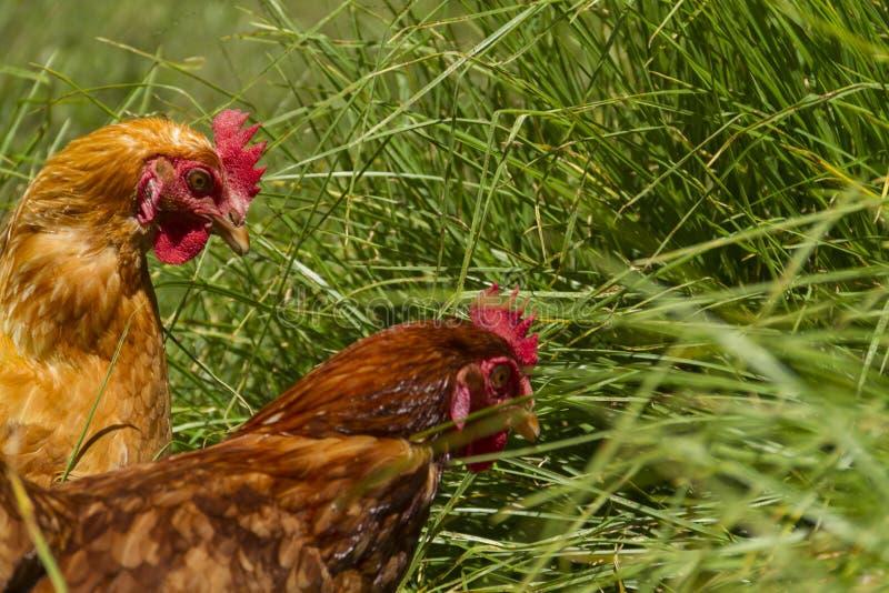 Vrije kippen in het organische eilandbouwbedrijf lopen op groen gras stock afbeeldingen