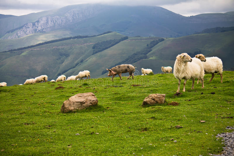Vrije landbouwbedrijfdieren in bergen van irati, Baskisch land, Frankrijk royalty-vrije stock afbeelding