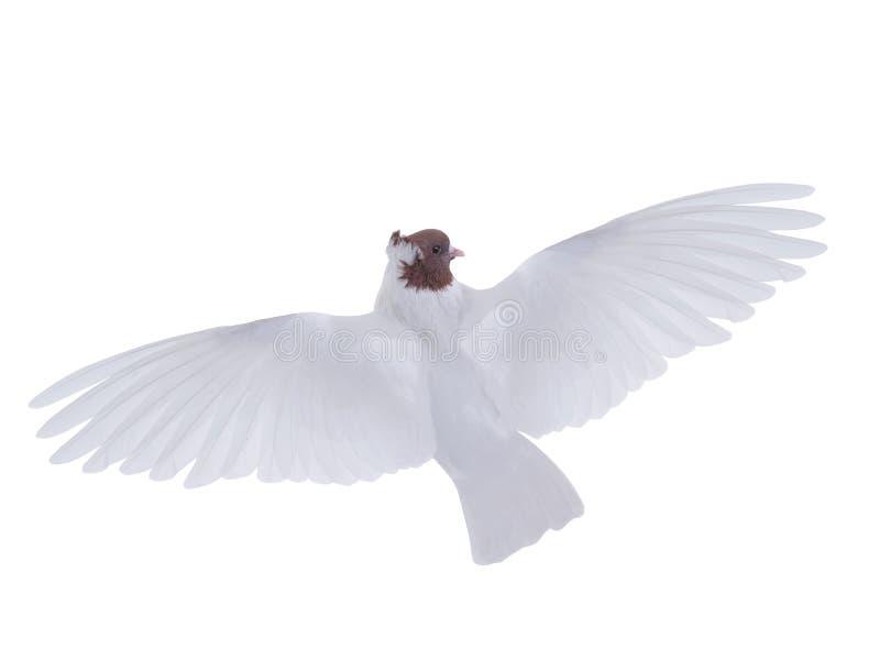 Vrije vliegende witte geïsoleerde duif stock afbeelding