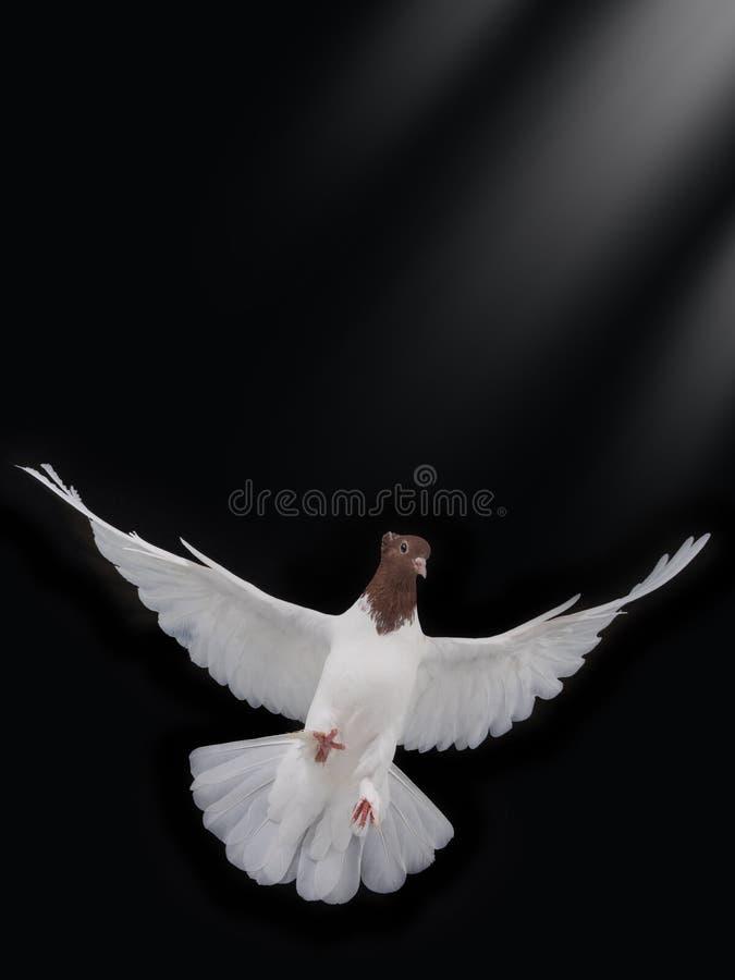 Vrije vliegende witte geïsoleerde duif royalty-vrije stock foto's