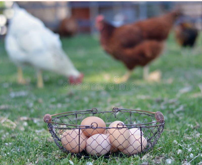 Vrije waaierkippen en eieren stock afbeelding