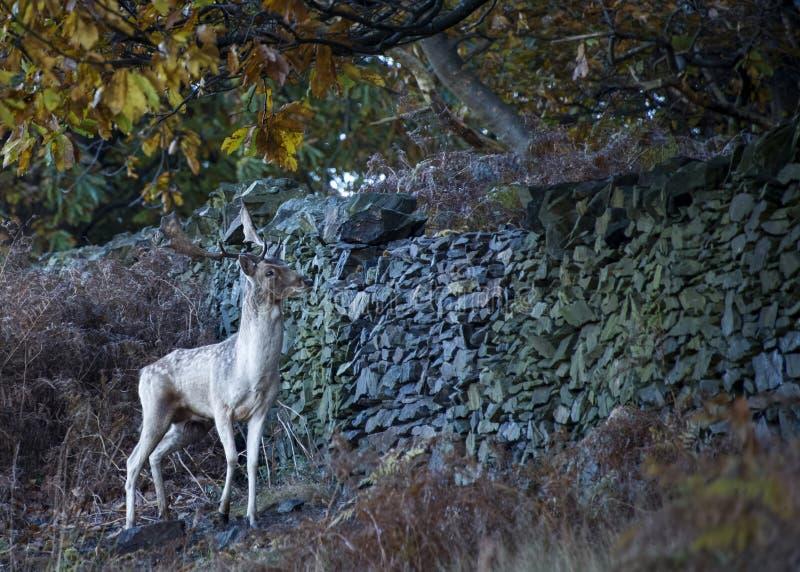 Vrije zwervende herten bij het park van het land stock foto