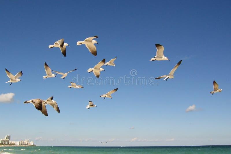 Troep van zeemeeuwen