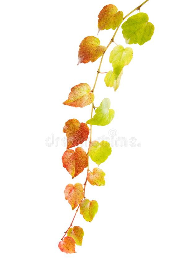 Vrille colorée de vin d'isolement sur le fond blanc Automne, décoration et concept d'agriculture images stock
