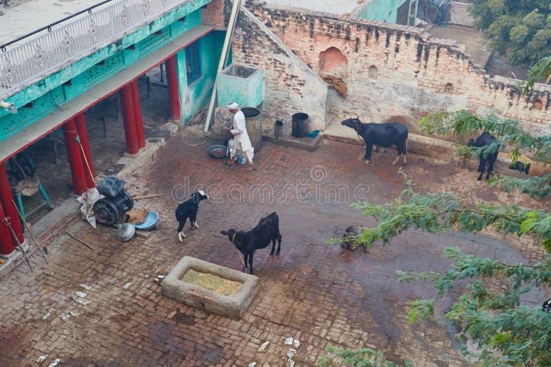 Vrindavan, il 22 ottobre 2016: Animales su un cortile posteriore in Vrindavan fotografia stock