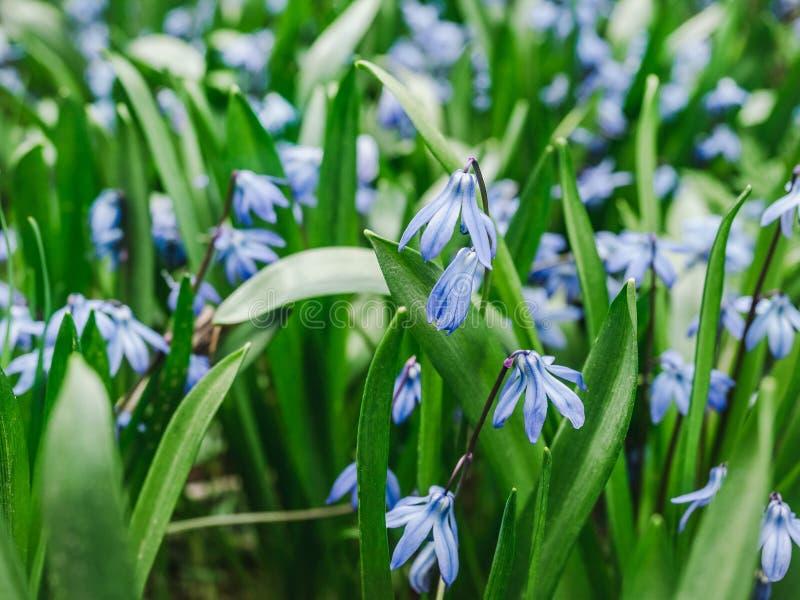 Vroeg, helder, de bloemen van de lentescilla op het achtergrondgras royalty-vrije stock afbeeldingen