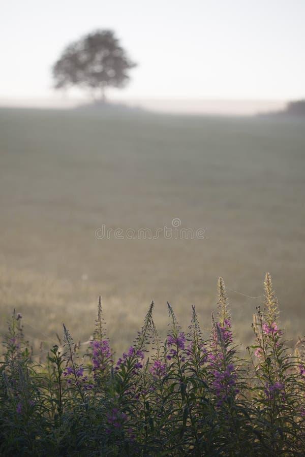 Vroeg, mistig, de zomerochtend op het gebied royalty-vrije stock foto's