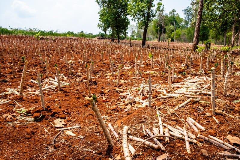 Vroeg stadium van maniokaanplanting in Chiang Mai, Thailand stock afbeeldingen