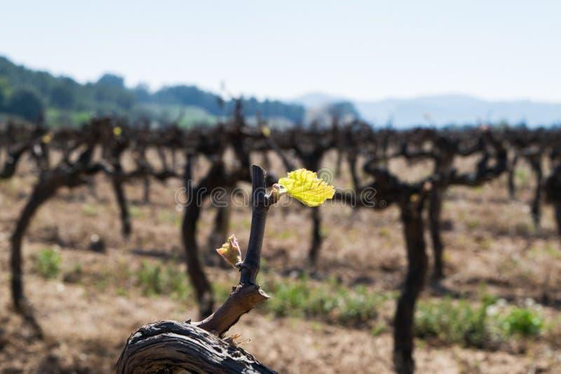 Vroege de lente groene spruit, de nieuwe groei op rijpe wijnstokken stock fotografie